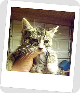 Domestic Shorthair Kitten for adoption in Owosso, Michigan - Sassy