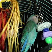 Adopt A Pet :: Pebbles - Neenah, WI