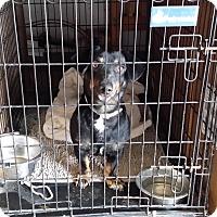 Adopt A Pet :: DILLINGER - Lubbock, TX