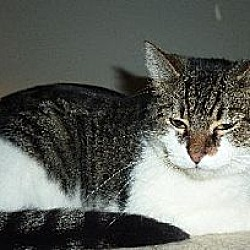 Photo 1 - Domestic Shorthair Cat for adoption in Phoenix, Arizona - Cookie