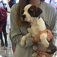 Adopt A Pet :: Madelyn's Puppy - Buttercup - Midlothian, VA