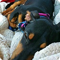 Adopt A Pet :: Paxton - Andalusia, PA