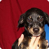 Adopt A Pet :: Emerson - Oviedo, FL