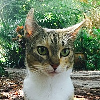 Domestic Shorthair Cat for adoption in Naples, Florida - Spunky