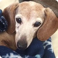 Dachshund Dog for adoption in Houston, Texas - Margie Marshal
