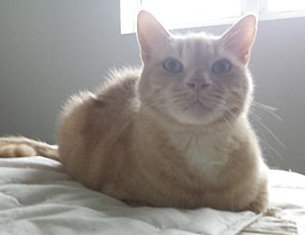 Domestic Shorthair Cat for adoption in Sunny Isles Beach, Florida - Sky