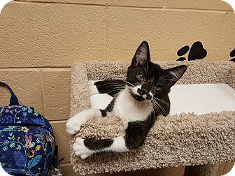Domestic Shorthair Kitten for adoption in Smithfield, North Carolina - Dinozzo
