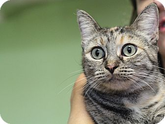 Domestic Shorthair Cat for adoption in Los Angeles, California - Kitty Katy