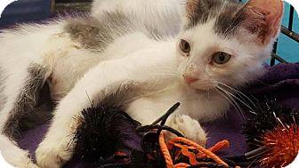 Russian Blue Kitten for adoption in Westlake, California - Darrell