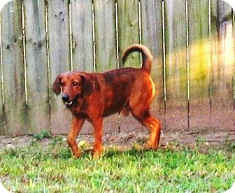 Redbone Coonhound Mix Dog for adoption in Germantown, Tennessee - OL' RED
