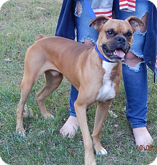 Boxer Dog for adoption in Burlington, Vermont - Deimos(45 lb) Fun, Smart Boy!