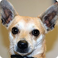 Chihuahua Mix Dog for adoption in Wildomar, California - Snoopy