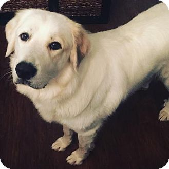 Great Pyrenees Dog for adoption in Columbus, Indiana - Penny