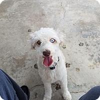 Adopt A Pet :: Ozzie - Fullerton, CA