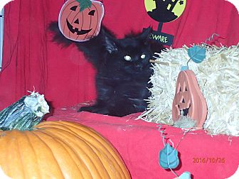 Polydactyl/Hemingway Kitten for adoption in Lancaster, California - Cuddles