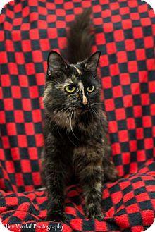 Domestic Shorthair Cat for adoption in Clarkesville, Georgia - Candie