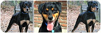 Rottweiler Dog for adoption in Forked River, New Jersey - Bentley