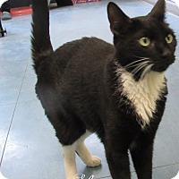 Adopt A Pet :: Shotzie - Jackson, NJ