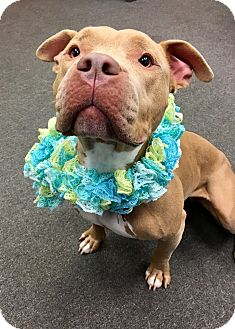 Pit Bull Terrier Mix Dog for adoption in Cleveland, Ohio - Cricket