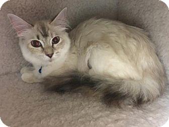 Siamese Cat for adoption in ROSENBERG, Texas - Harper