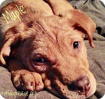 Australian Shepherd Mix Puppy for adoption in Milton, Georgia - Maple