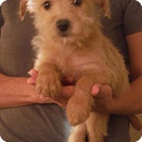 Westie, West Highland White Terrier/Poodle (Miniature) Mix Puppy for adoption in Flanders, New Jersey - Minnie