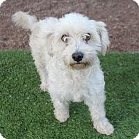 Adopt A Pet :: Princess Fiona - Phoenix, AZ
