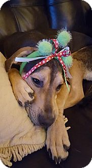 German Shepherd Dog/Plott Hound Mix Puppy for adoption in Elgin, Illinois - *Salina