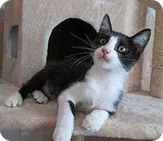 Domestic Shorthair Cat for adoption in San Bernardino, California - Fisher