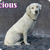 Adopt A Pet :: Precious - Houston, MO