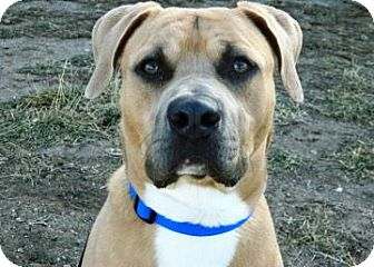 American Pit Bull Terrier/Labrador Retriever Mix Dog for adoption in Cheyenne, Wyoming - Max