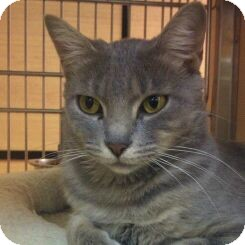 Domestic Shorthair Cat for adoption in Modesto, California - Gracie