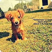 Adopt A Pet :: Sebaston - Gadsden, AL