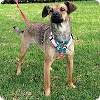Adopt A Pet :: Lucy - El Segundo, CA