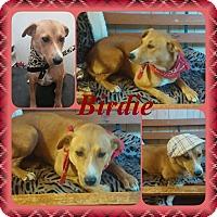 Adopt A Pet :: Birdie in CT - Manchester, CT