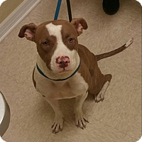 Pit Bull Terrier Mix Dog for adoption in Spring Hill, Florida - Shasta