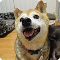 Adopt A Pet :: Asami - Manassas, VA