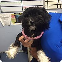 Adopt A Pet :: Mittens - Jupiter, FL