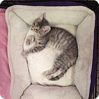 Adopt A Pet :: Greycie - River Edge, NJ