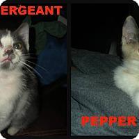 Adopt A Pet :: Sargent/Pepper - Ortonville, MI