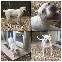 American Bulldog Mix Dog for adoption in Palmetto Bay, Florida - baby