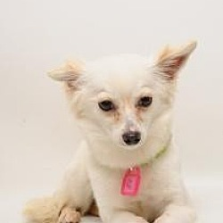 Photo 3 - Papillon/Pomeranian Mix Dog for adoption in Santa Cruz, California - Miss Tickle