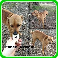 Adopt A Pet :: EILEEN(Maddie) - Malvern, AR