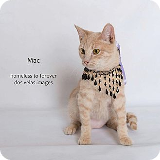Domestic Shorthair Cat for adoption in Arcadia, California - Mac