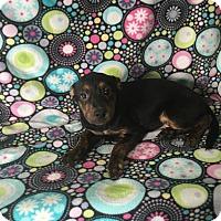 Adopt A Pet :: Kim - Lonedell, MO