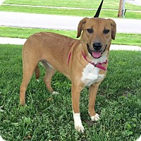 Shepherd (Unknown Type)/Retriever (Unknown Type) Mix Puppy for adoption in Detroit, Michigan - Tara