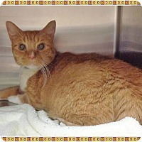 Domestic Shorthair Cat for adoption in Marietta, Georgia - DIAMOND