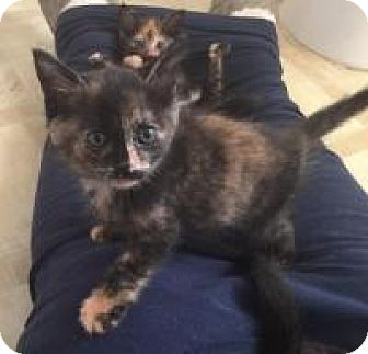 Calico Kitten for adoption in Smyrna, Georgia - Cayenne