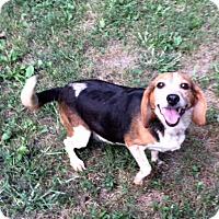Adopt A Pet :: Bridgette - Dumfries, VA