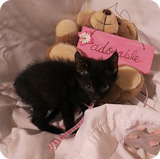 Domestic Shorthair Kitten for adoption in Geneseo, Illinois - Columbus